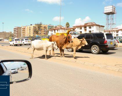 Nairobi Photos Cows Roaming Streets